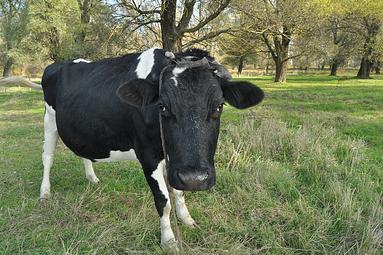 sacred cows in media